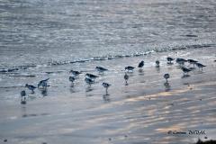 Bécasseaux de Sanderling au soleil couchant